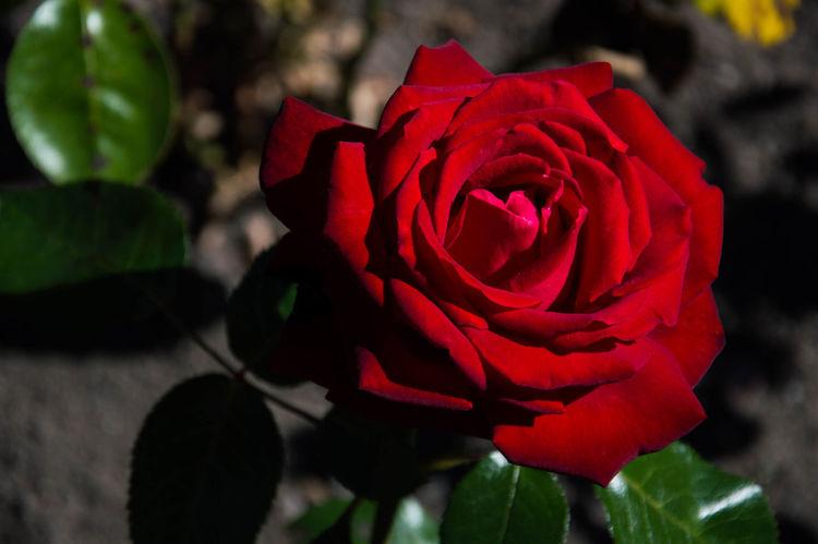 Rose. Rose🌹 Roses🌹 Red Rose Roses Are Red Rose Petals