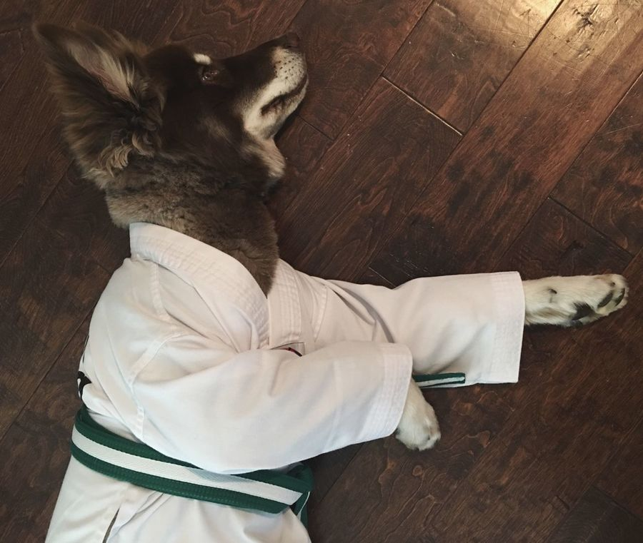 MMA Mixed Martial Arts Dog Gi Green Belt Dressing Up Pets Pretend Play Puppy Scotts Valley California United States