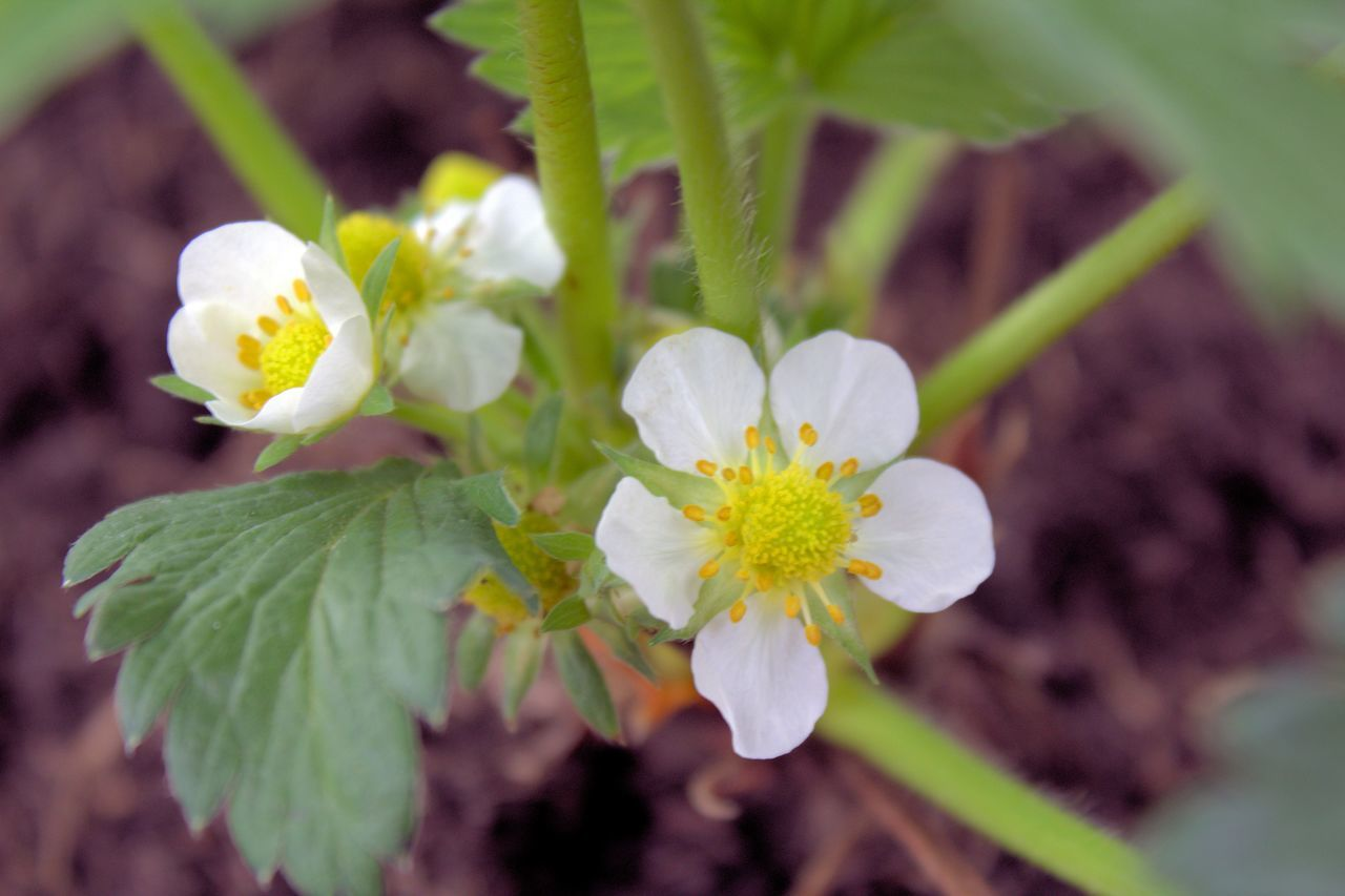 Biagio Costagliola Beauty In Nature Blooming Close-up Day Flower Flower Head Fragility Freshness Growth Nature No People Outdoors Petal Plant Strawberry