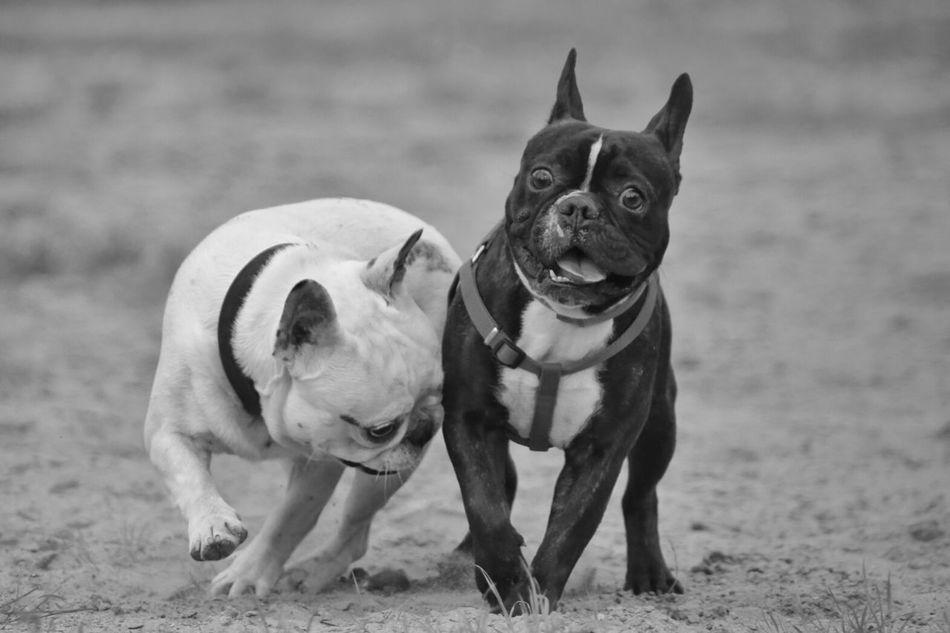 Beautiful stock photos of hunde, Day, boston Terrier, dog, domestic Animals