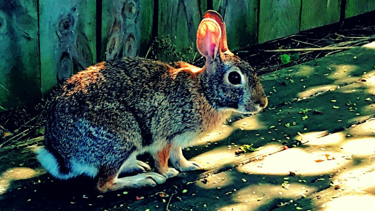 Wild Rabbits Wild Animals Up Close Forest Animal Forest Creatures Creatures Of The Forrest Rabbit ❤️ Rabbit In My Yard Bunny Ears  KAWAII Rabbits 🐇 Nature_collection Nature Photography Taking Pictures Taking Photos Hanging Out Brown Rabbit Wild Rabbit Bunnylove Rodent Rabbits Bunny Love Bunny 🐰 Bunny  Rabbit Woodland Critters