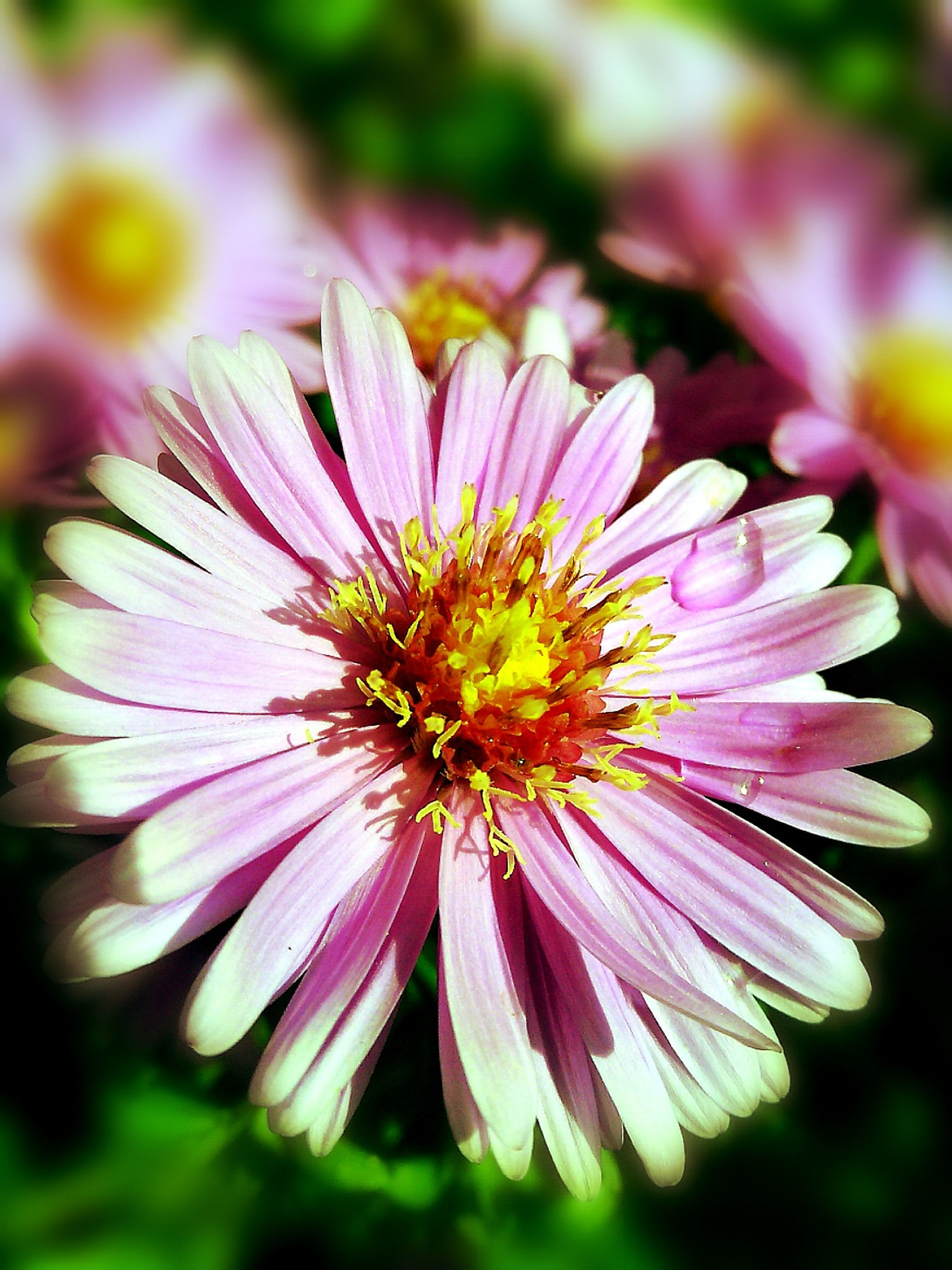 flower, freshness, fragility, petal, flower head, beauty in nature, growth, close-up, nature, season, springtime, daisy, selective focus, single flower, in bloom, pink color, macro, plant, stamen, blossom, pollen, vibrant color, blooming, purple, focus on foreground, pink, bloom, day, botany, soft focus, softness
