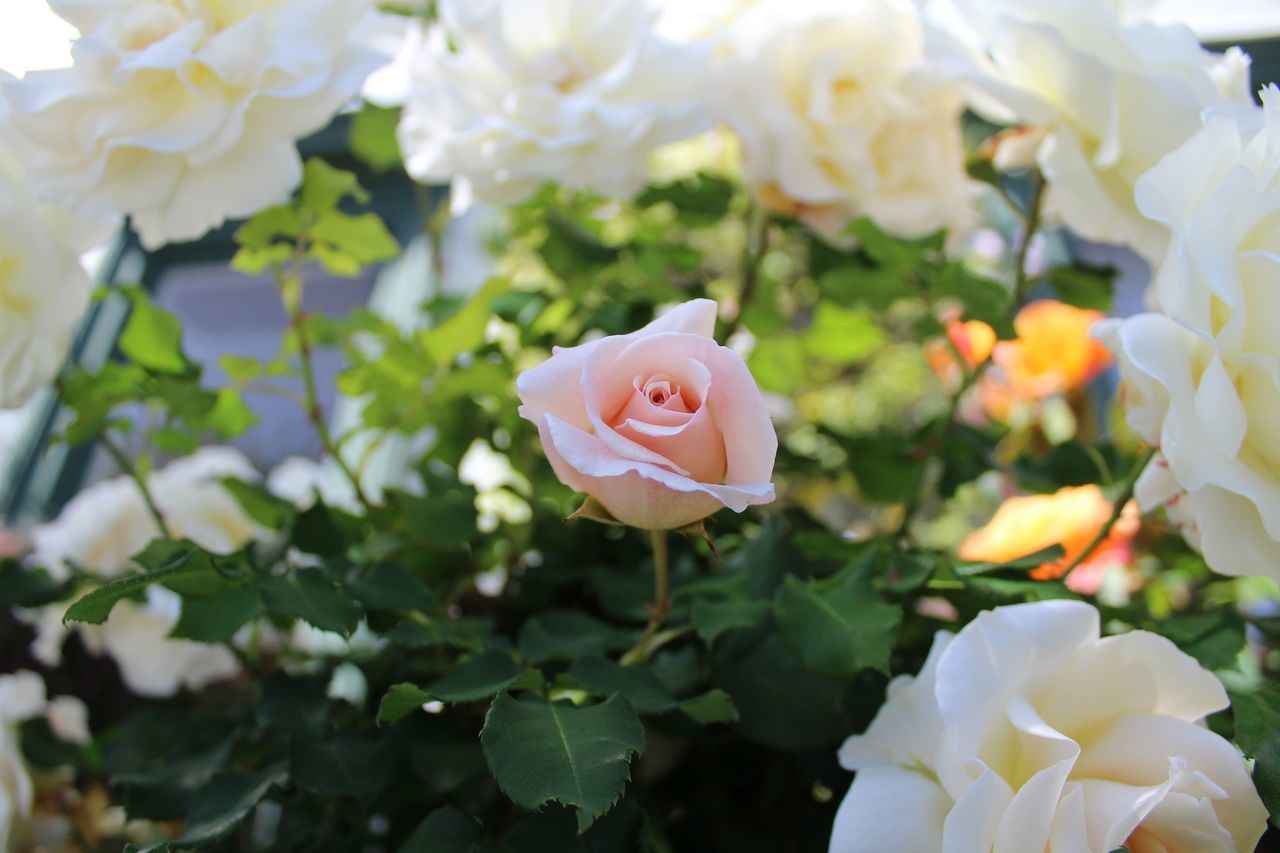flower, petal, rose - flower, growth, nature, white color, flower head, blooming, beauty in nature, plant, fragility, freshness, no people, close-up, outdoors, day