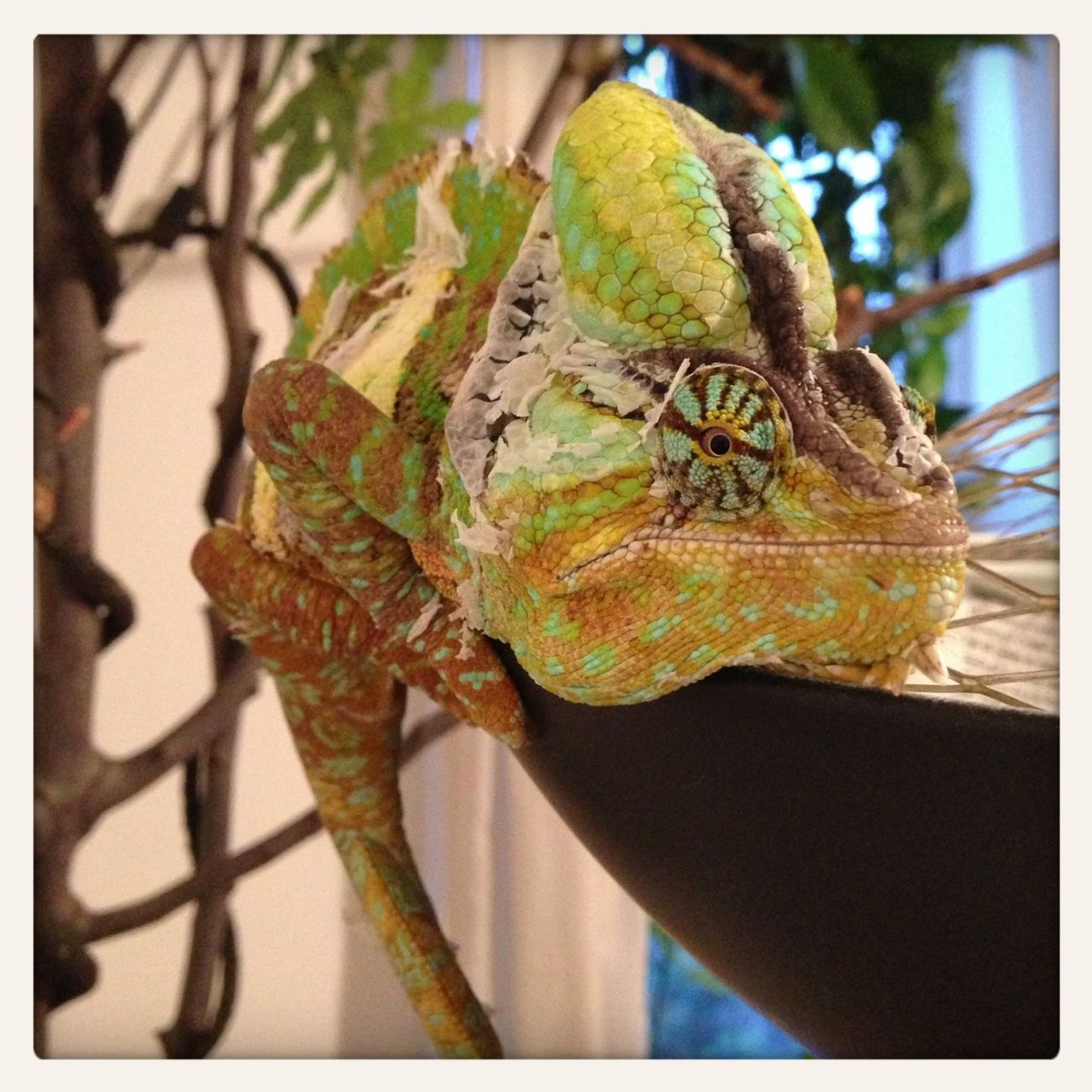 Chameleon Reptiles #colors #color #colorful #TagsForLikes #red #orange #yellow #green #blue #indigo #violet #beautiful #rainbow #rainbowcolors #col #love #cute #pretty #beautiful