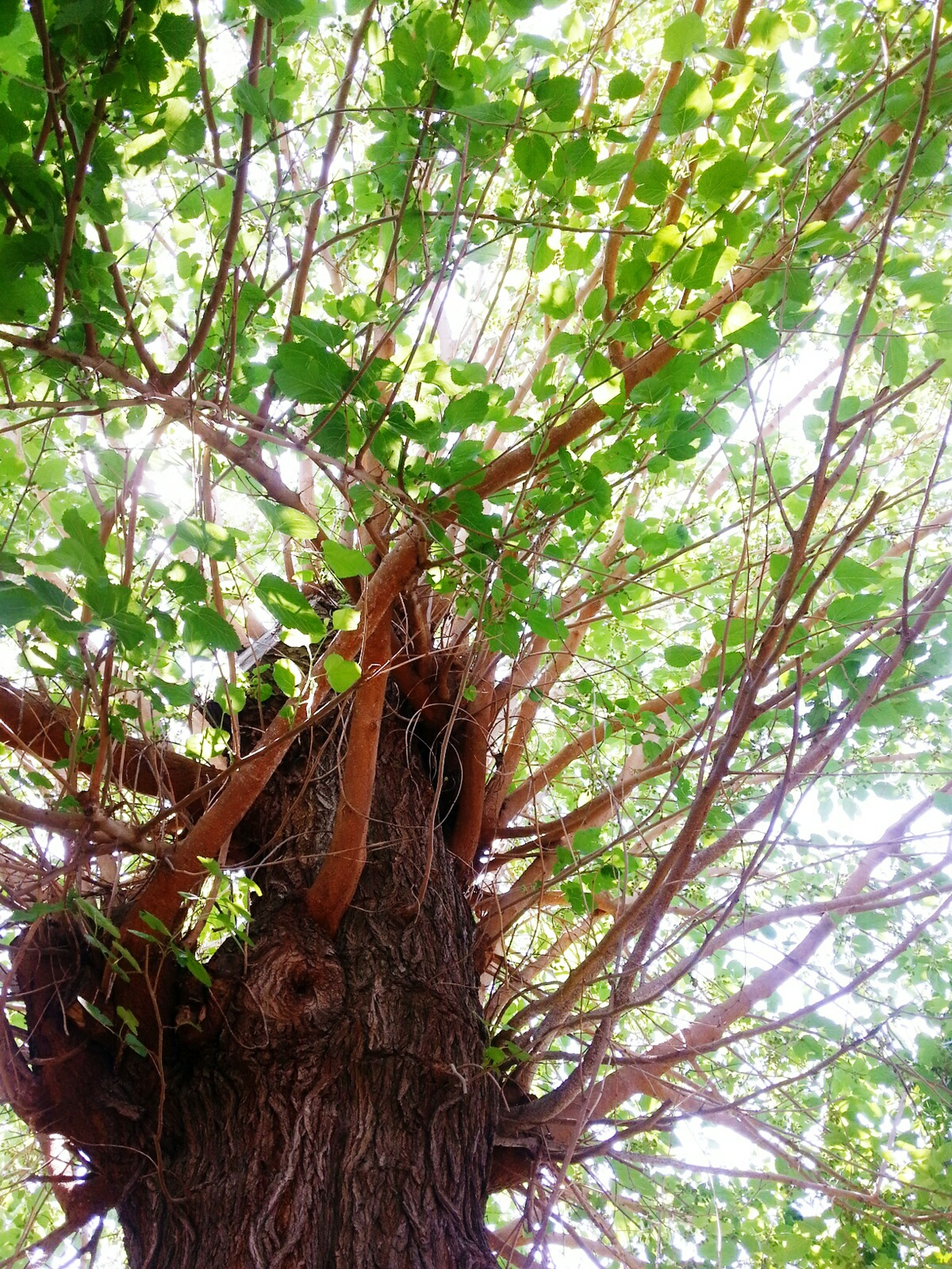 tree, low angle view, branch, growth, tree trunk, green color, nature, tranquility, forest, leaf, beauty in nature, day, outdoors, sky, no people, backgrounds, green, full frame, lush foliage, scenics