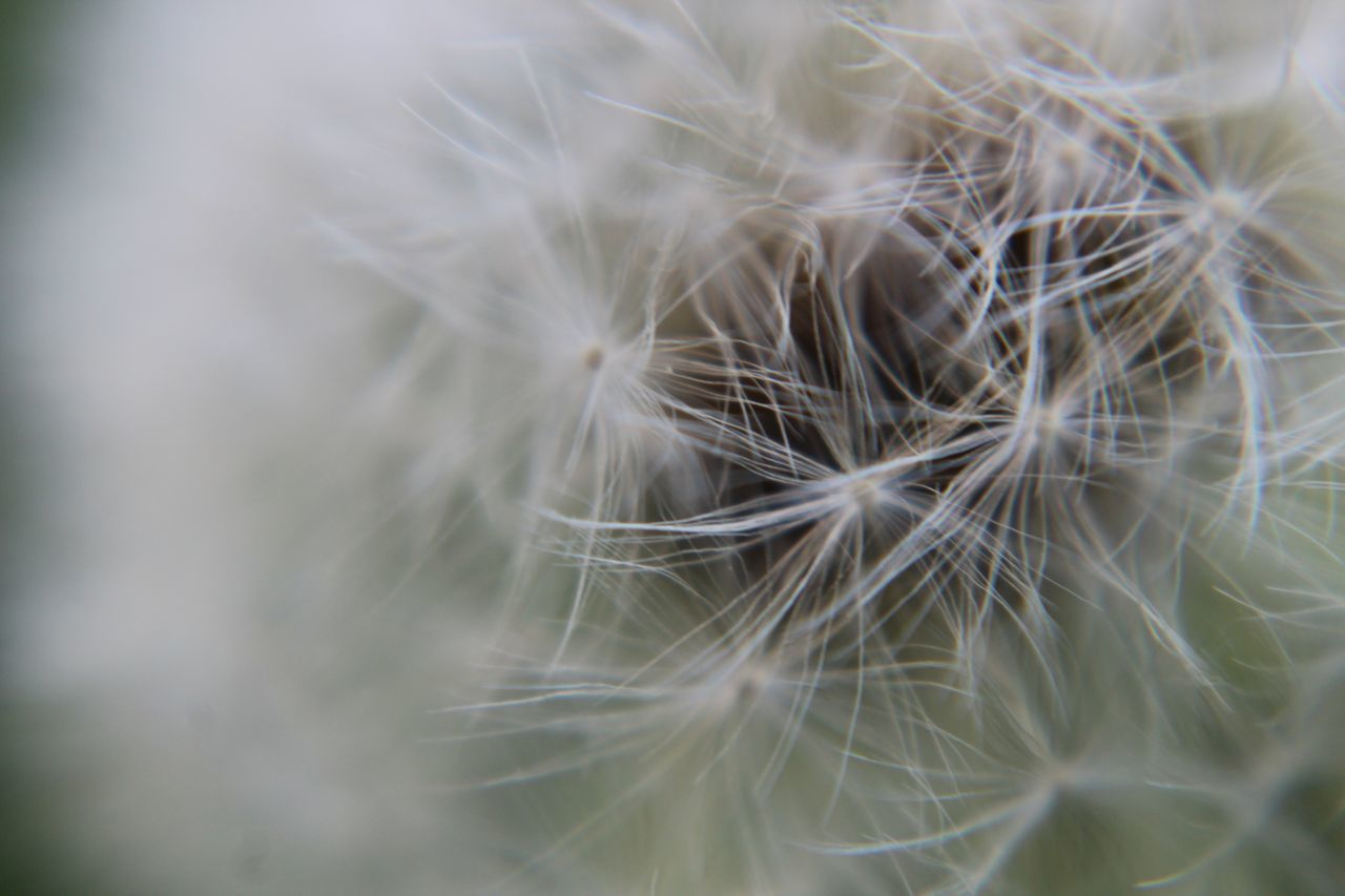 fragility, flower, dandelion, softness, dandelion seed, close-up, nature, freshness, beauty in nature, white color, flower head, plant, no people, selective focus, growth, seed, uncultivated, day, outdoors