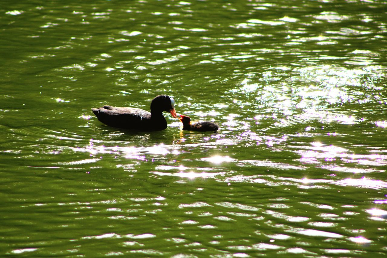 Wollaton Hall Nottingham Nottinghamshire Animal Photography Birds Grebe Grebe Bird Beauty In Nature Summer Nature