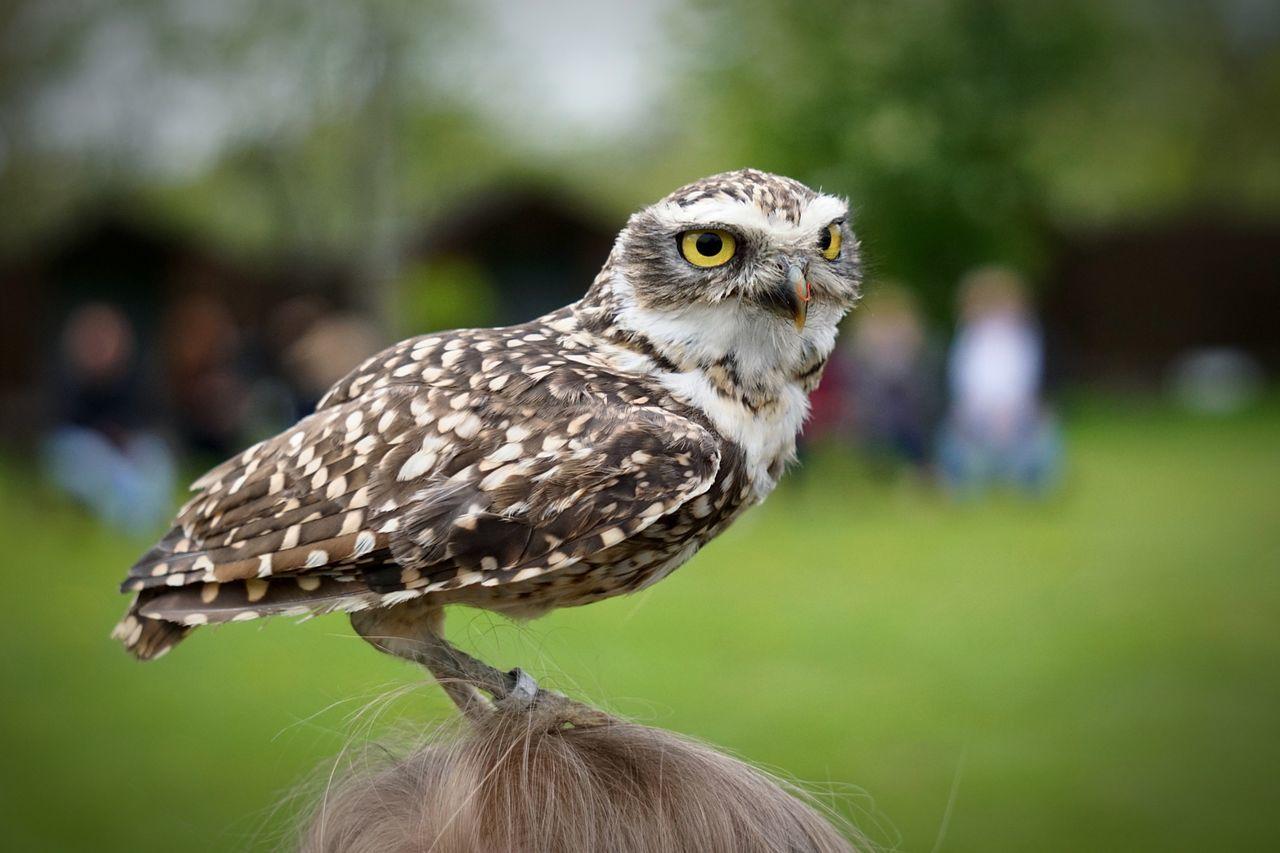 Bird Owl Animal Themes Falknerei Wörlitz
