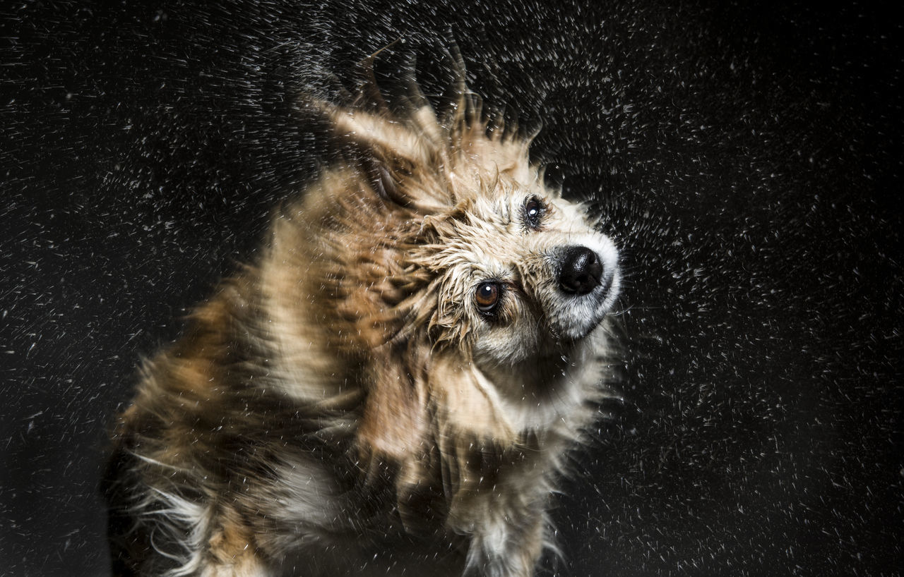 Animal Animal Hair Animal Head  Animal Themes Close-up Day Dog Domestic Animals Focus On Foreground Front View Looking At Camera Loyalty Mammal No People One Animal Outdoors Pampered Pets Pets Shake Spining Head Spinning Splash Water Droplets Water_collection Zoology