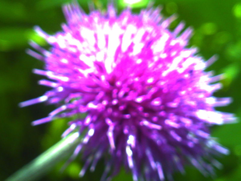 DigitalHarinezumi Flower Purple Plant Pink Color Growth Outdoors No People Day Close-up