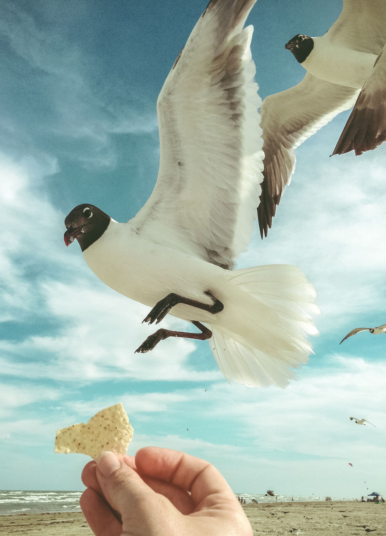 Animal Wildlife Beach Birds Feed The Birds Flying Hand Hands Human Body Part Human Hand Human In Nature Lifestyles Nature Outdoors Personal Perspective Sea Sea Bird Seagull Sky Spread Wings Travel Vacation