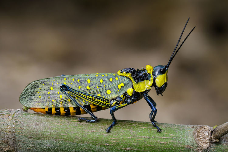 Aularches Miliaris Bug Green Color Spotted Spotted Grasshopper Animal Animal Themes Animal Wildlife Animals In The Wild Close-up Day Ghost Grasshopper Grasshopper Hook-tipped Insect Locust Nature No People One Animal Outdoors Yellow