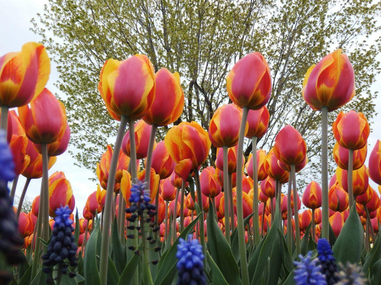 Tulips Fragility Beauty In Nature Tulipseason Ottawa, Canada.