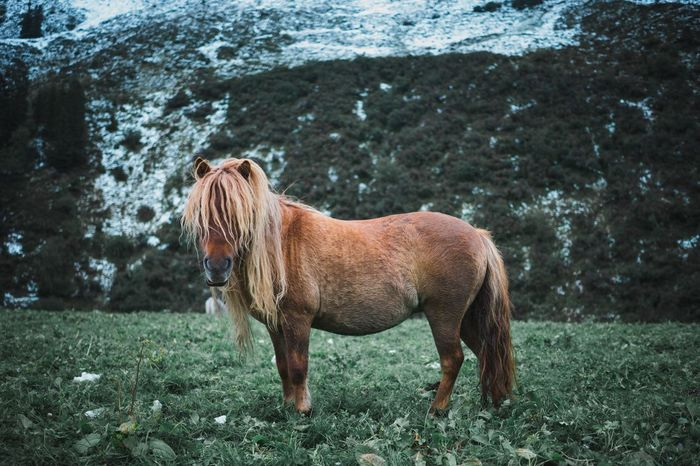 Cool Shetland Pony with Surfer hair Live Authentic Blonde Hair Cool Surfer Atzre Mountain Grass Shetland Pony Domestic Animals Animal Themes Horse One Animal Mammal Field Day Standing Livestock Outdoors Pets Grass No People Nature