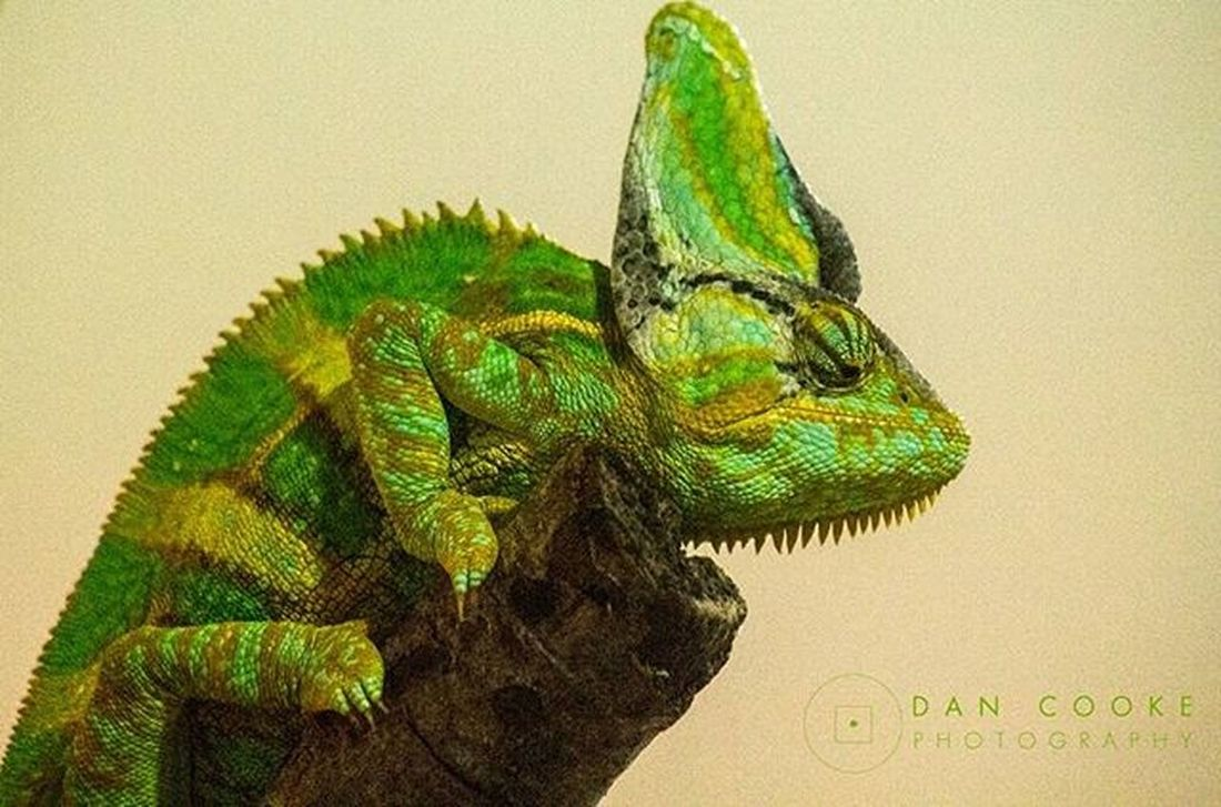 Chameleon @ Longleat Safari Park Justchillin Longleatsafaripark Chameleon Wildlife @longleatofficial