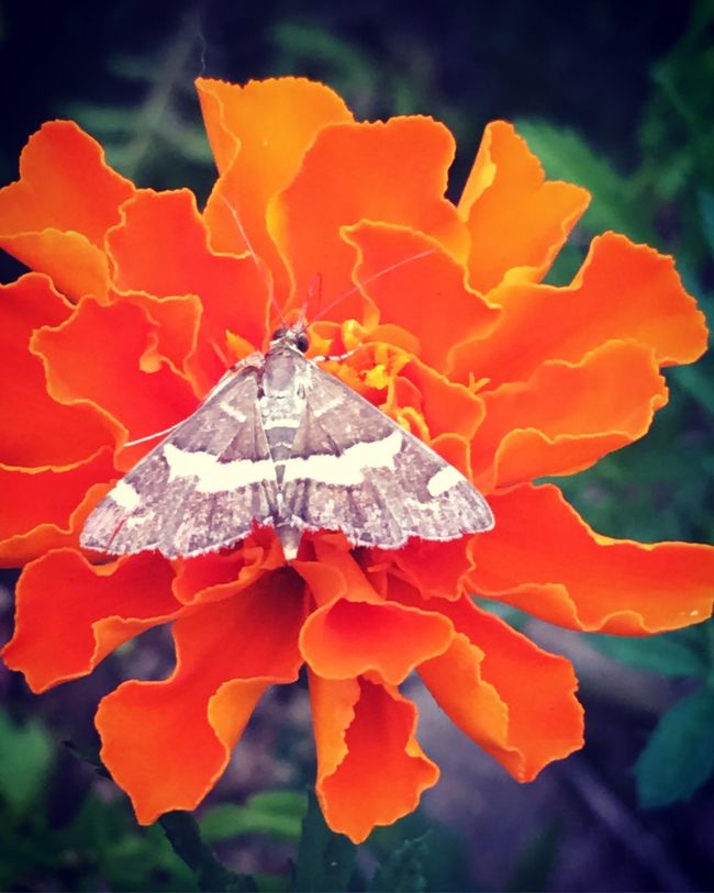 Butterfly Flower Close-up Fragility Petal Freshness Beauty In Nature Focus On Foreground Nature Growth Orange Color Vibrant Color Plant Flower Head Day Outdoors Extreme Close-up Marigold Wildlife Wildlife & Nature Wildflowers IPhone Single Flower Springtime No People