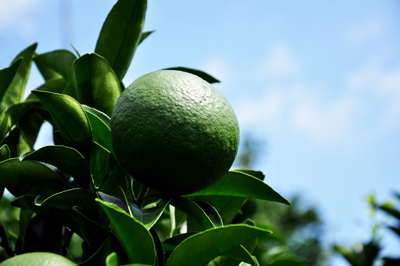 Citrus Fruit Close-up Day Focus On Foreground Food Food And Drink Freshness Fruit Grapefruit Green Color Growth Healthy Eating Juicy Leaf Lemon Lemon Tree Nature No People Outdoors Sky Tangerine Tangerine Sky Tree
