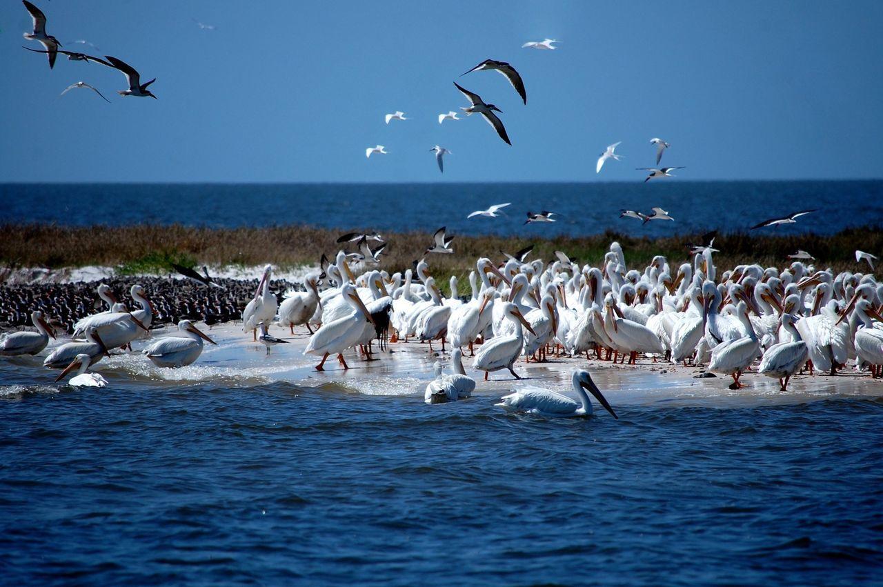 Cedar Key Pelicans Flock Of Birds Flock Of Pelicans Albino Pelicans Florida Gulf Of Mexico Island Birds