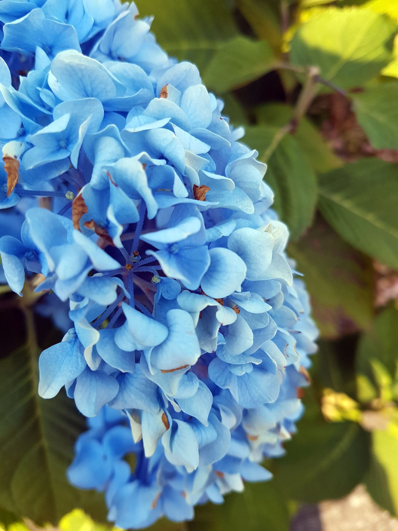 hydrangea close up Beauty In Nature Blooming Blossom Blue Botany Close-up Day Flower Flower Head Focus On Foreground Fragility Freshness Growing Growth Hydrangea Hydrangea Flower Hydrangea In Bloom Hydrangea Macrophylla In Bloom Nature Petal Plant Selective Focus Softness Springtime