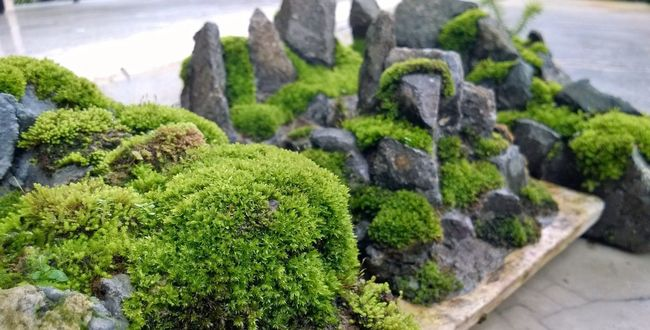 moss penjing, Moss Penjing Bonsai