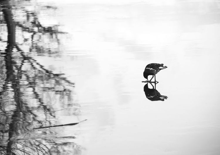 Animal Themes Beauty In Nature Day Lake Nature Outdoors Real People Reflection Water Waterfront One Animal Hylands Park Nikon D5500 Essex Idyllic Eyeemphoto Tranquility Tree Black & White Birds