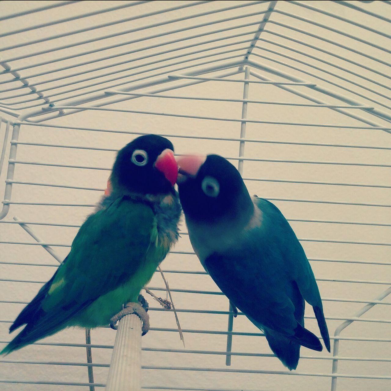 Gabbia Inseparabili Pappagallini Faccie Natura Amore Bacio  Dolci