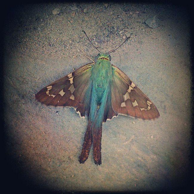 MariColiTzal!!! Mariposa Colibrí Quetzal Butterfly Hummingbird Insect Animal Nature Cute Colorful Macro Rare Instamazing ShotOfTheDay Si alguien sabe como se llama este espécimen, haganmelo saber, por favor! / If someone knows how's this specimen called, please let know!