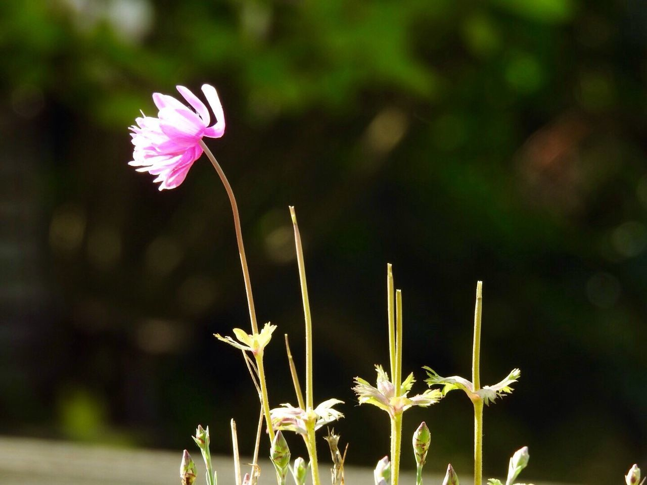 Flower Head Flower Fragility Plant Nature Petal Outdoors Growth Focus On Foreground Freshness Beauty In Nature Close-up Day No People Blooming Pink Color Breeze