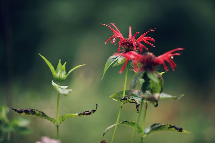 Bee Balm Scarlet Goldmelisse Gold Melisse Flower Plant Beauty Nature Close-up No People Plant Part Outdoors EyeEmNewHere The Great Outdoors - 2017 EyeEm Awards Be. Ready.