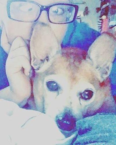 Silly face with my bubby. 😍😘❤ RestinPeaceBubby Imissyou Chihuahua Dachshund Bubby Mysatan Imissyou Love