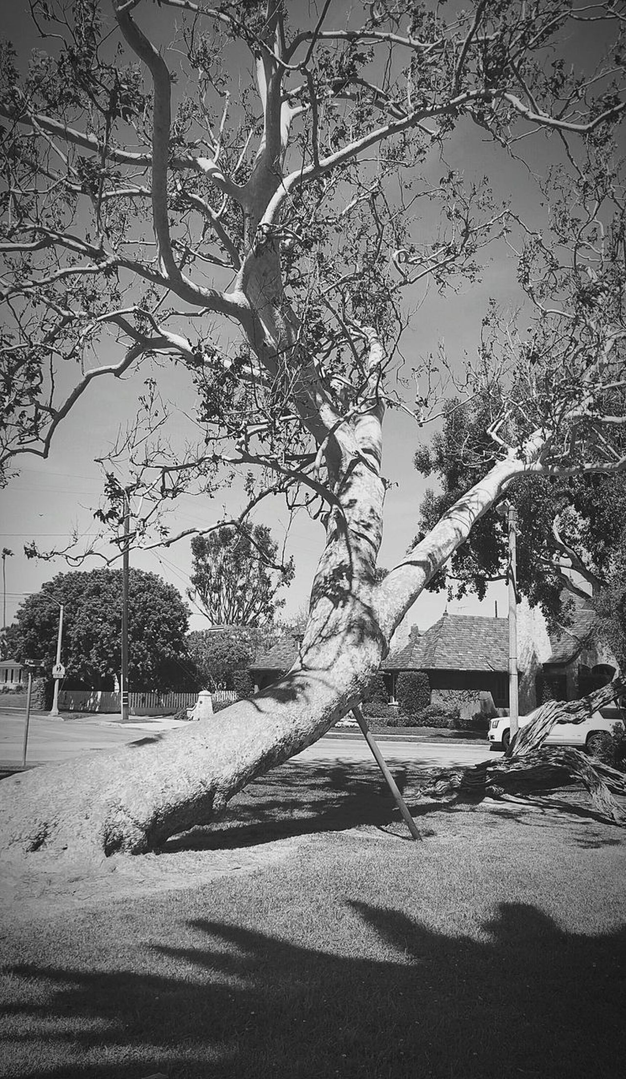 Tree Nature No People Outdoors Growth Day Beauty In Nature Willow Tree Park Huntington Beach Downtown Blackandwhite Photography Parks And Recreation Walking Around Nature SpringBreak