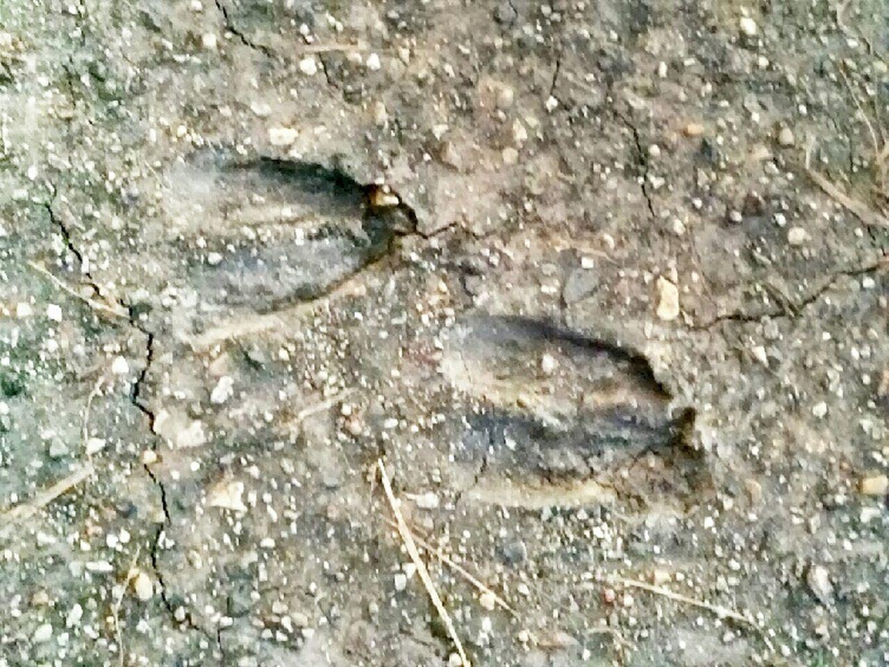 Deer Tracks Mud