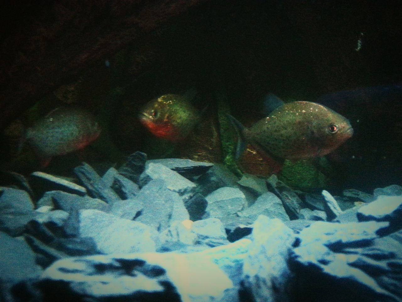 Piranha Piranhas Mypets Today Taking Photos Fish Red Redbelly Predators Predatory Home Sweet Home Water Freshwater Fish my piranhas are coming on well now