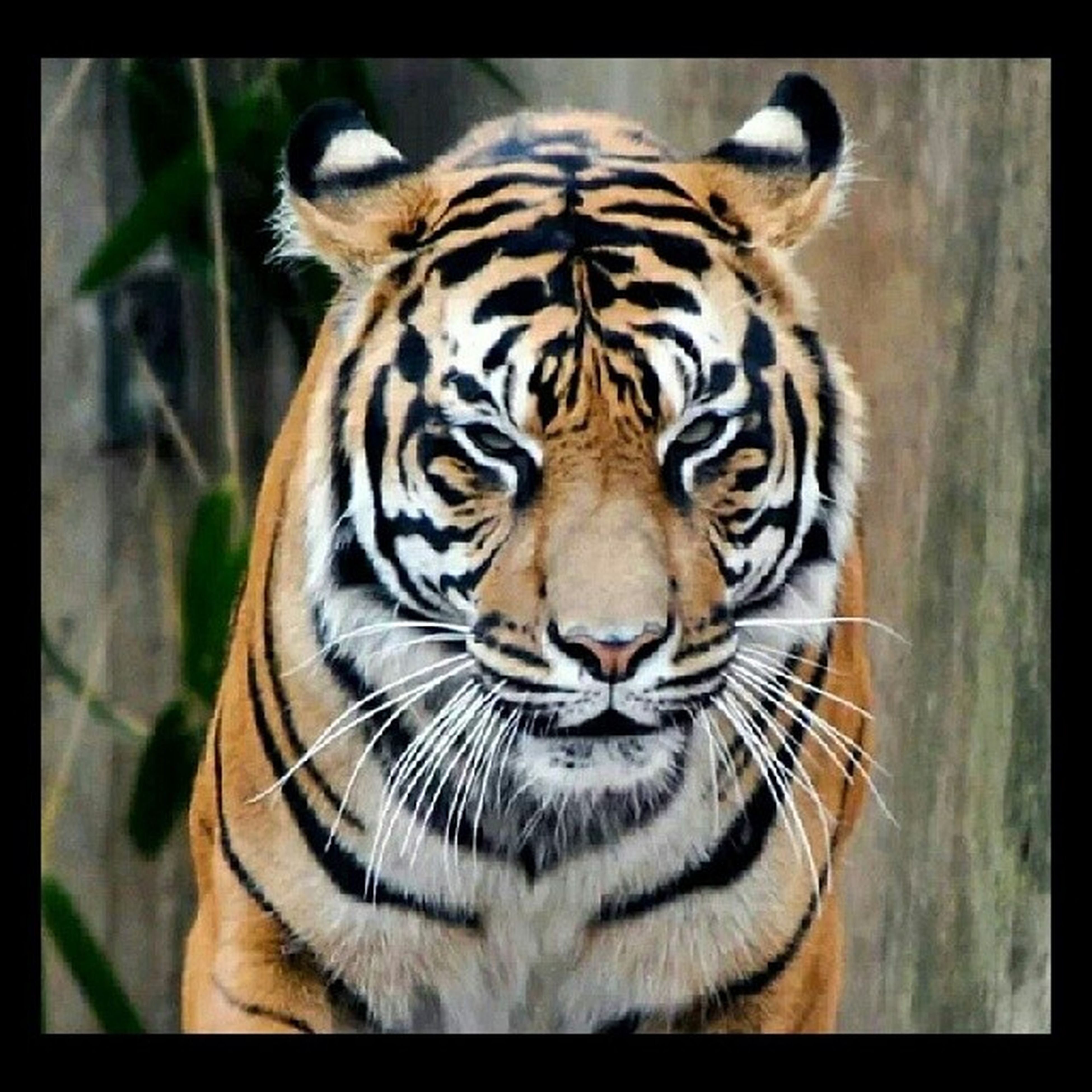 animal themes, one animal, animal markings, tiger, animals in the wild, wildlife, natural pattern, mammal, striped, safari animals, big cat, zoo, close-up, endangered species, undomesticated cat, leopard, animal head, zoology, no people, outdoors