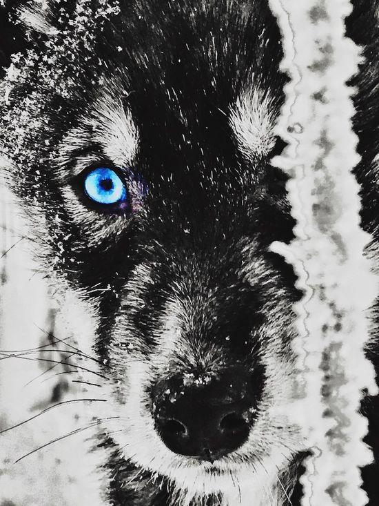 Huskylovers Husky ♡ Husky Lover  Huskyphotography Husky Puppy Sojourn IntotheArticCircle Winterinlaplandfinland Aurora Chasing IPS2016Winter Luosto IPS2016Nature