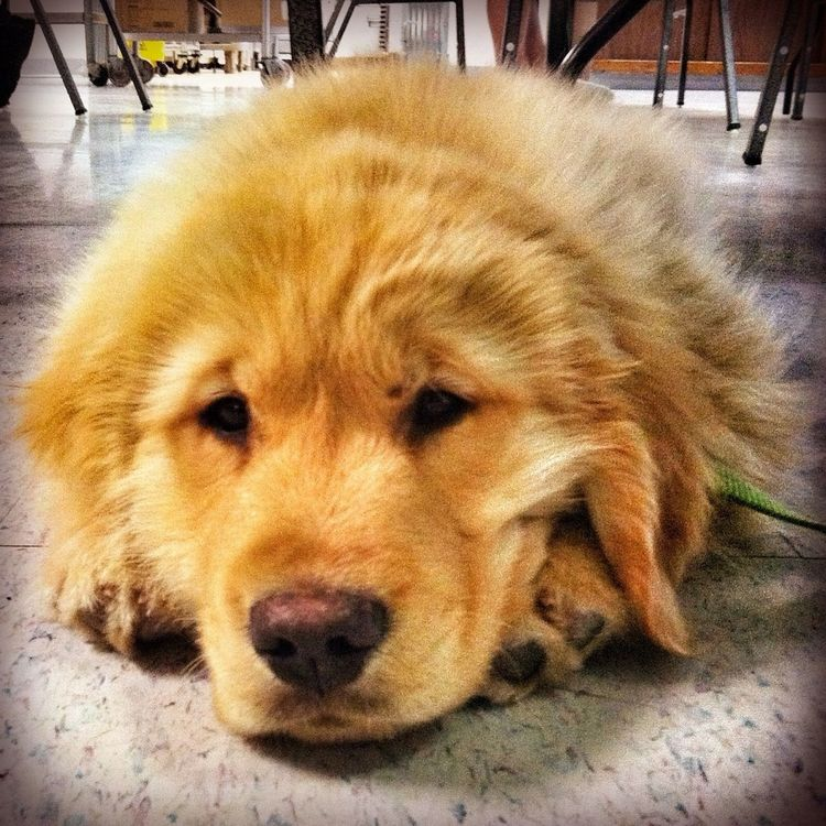 Hanging Out Golden Retrievers Puppy