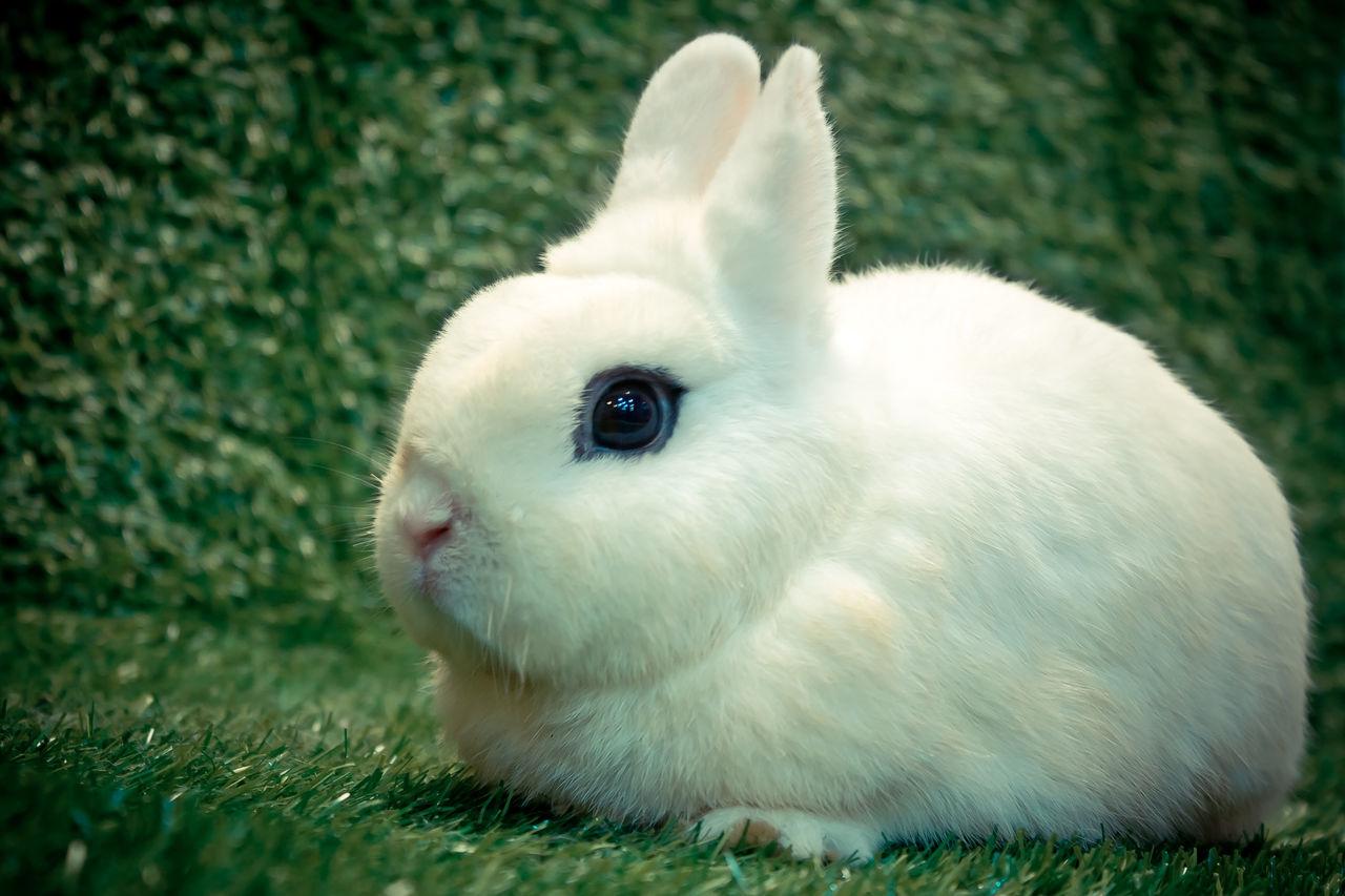 Animal Themes Close-up Domestic Animals Mammal Nature No People One Animal Pets Rabbit Rabbit - Animal Rabbit Ears Rabbit ❤️ Rabbit 🐇 Rabbits 🐇