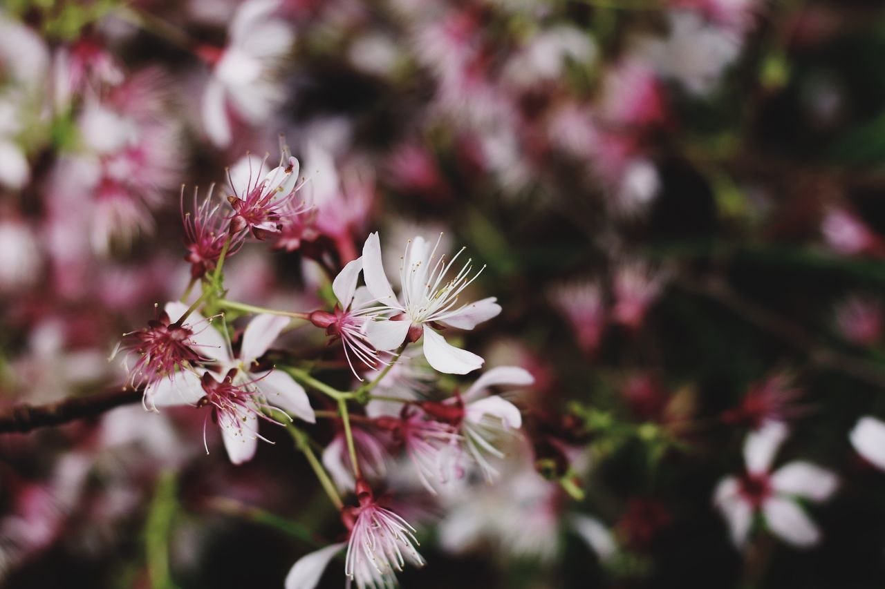 Sakura Sakura Blossom Flower Growth Nature Fragility Beauty In Nature Freshness Petal Springtime Close-up No People Flower Head Plant Day Outdoors Blossom Plum Blossom Wildflowers Wildlife & Nature Pink Pink Flower EyeEmNewHere EyeEm Gallery From My Point Of View