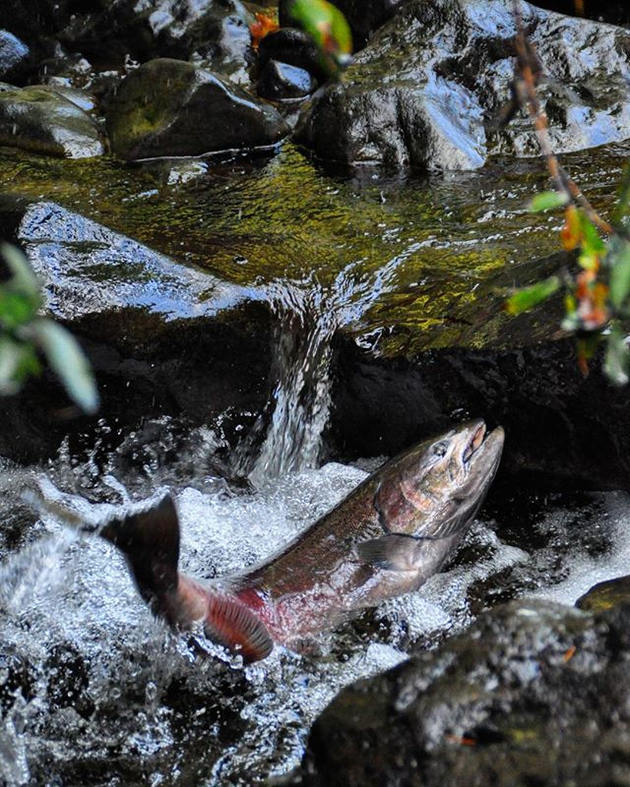 Chinook salmon heading upstream to spawn. Oregon Chinook Salmon Spawning River Upstream Oregonnw Oregonexplored PNW Pnwcollective Pacificnorthwest Upperleft Iloveusa Nature Fishing Fish Natgeo Rivergorge USA Usfws Usinterior @usfws TravelOregon Travel Feature Afar nikonusa nofilter