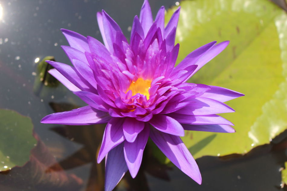 Beauty In Nature Blooming Close-up Day Floating On Water Flower Flower Head Fragility Freshness Growth Leaf Lily Pad Lotus Flower Lotus Water Lily Nature No People Outdoors Petal Plant Purple Purple Flower Purple Lotus Water Water Lily