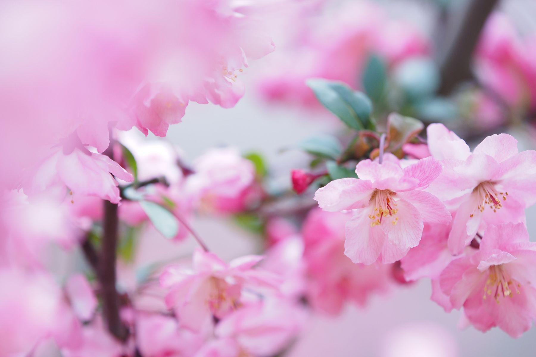 緩く緩く Flower Pink Color Fragility Beauty In Nature Petal Nature Blossom Growth Springtime Freshness Flower Head Close-up No People Day Outdoors Branch Tree EyeEmNewHere EyeEm Best Shots EyeEm Nature Lover Focus On Foreground ハナカイドウ 花海棠 Olympus OM-D EM-1 遠ざかっていく。