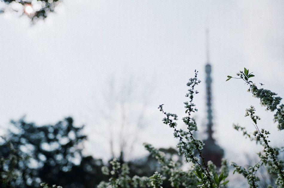 さて、 Film 35mm 35mm Film 35mmfilmphotography Nature Growth Flower Beauty In Nature Close-up Long Goodbye Day Low Angle View Sky Branch Fragility Freshness EyeEm Nature Lover EyeEm Best Shots EyeEmNewHere Springtime Tokyo Tower 東京タワー 雪柳 Rollei35s さて。