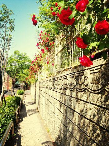 Flowers Summer Red Rose 여름이다'