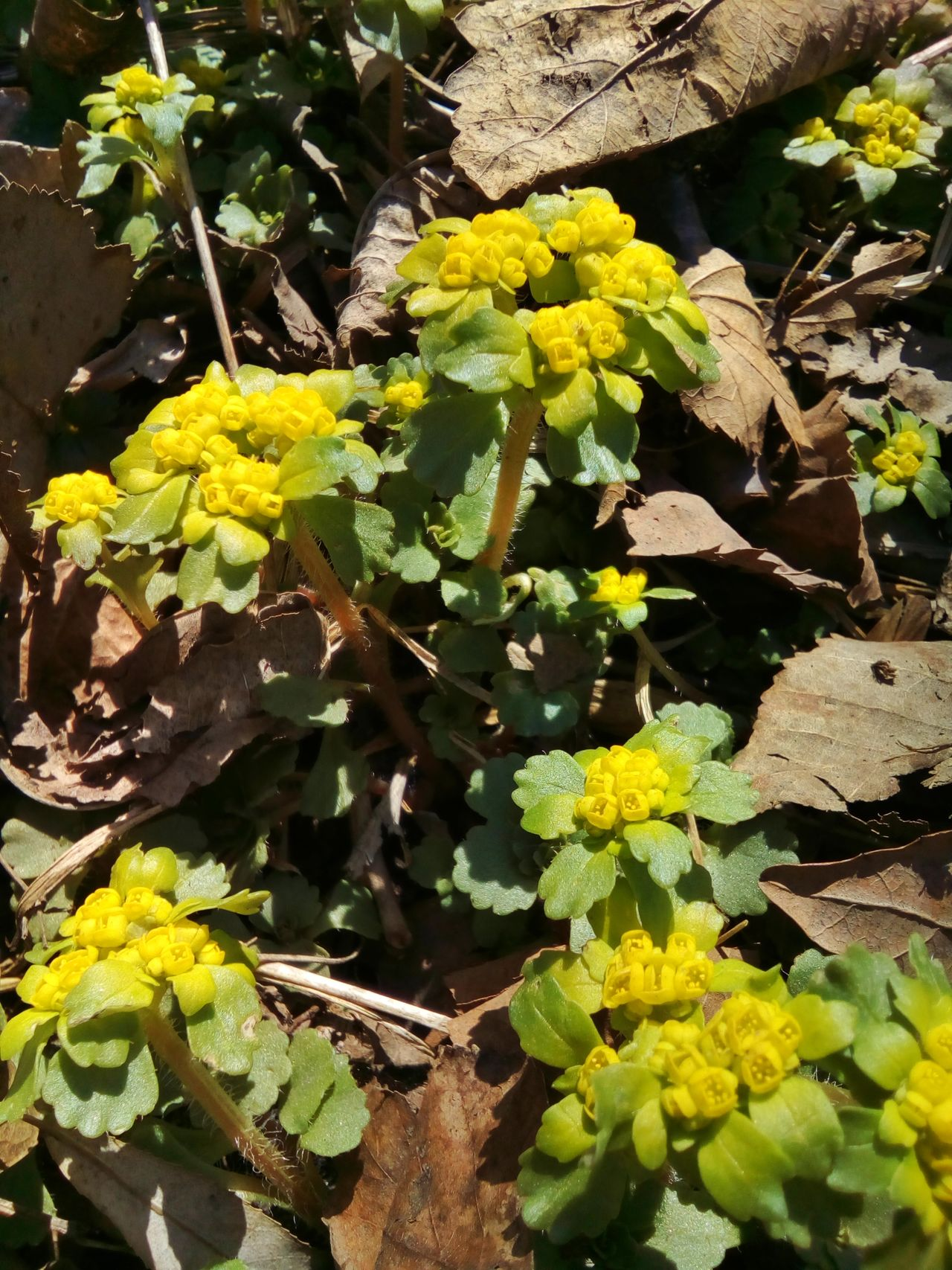 Spring flowers Growth Leaf Yellow Close-up Nature Day Outdoors Green Color Plant Sunlight No People Beauty In Nature Fragility Freshness Spring April Blossom Flowers Blossom Blooming Flower Chrysosplenium Chrysosplenium Alternifolium Medicinal Plant