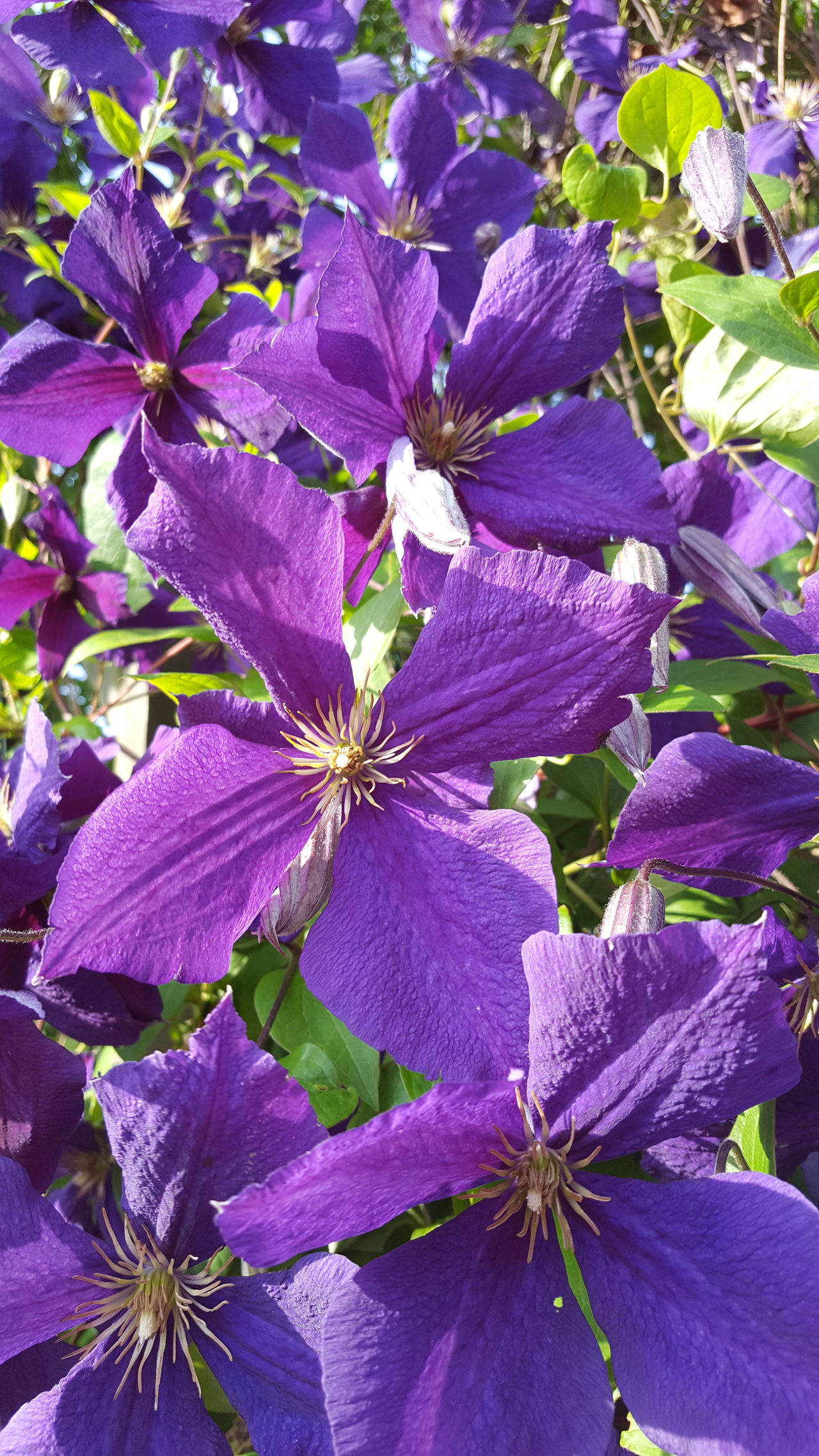 Purple Flower Close-up Plant Nature Flower Head Freshness Fragility Beauty In Nature No People Outdoors Clematis Garden Bloom Blooming Blooming Flower