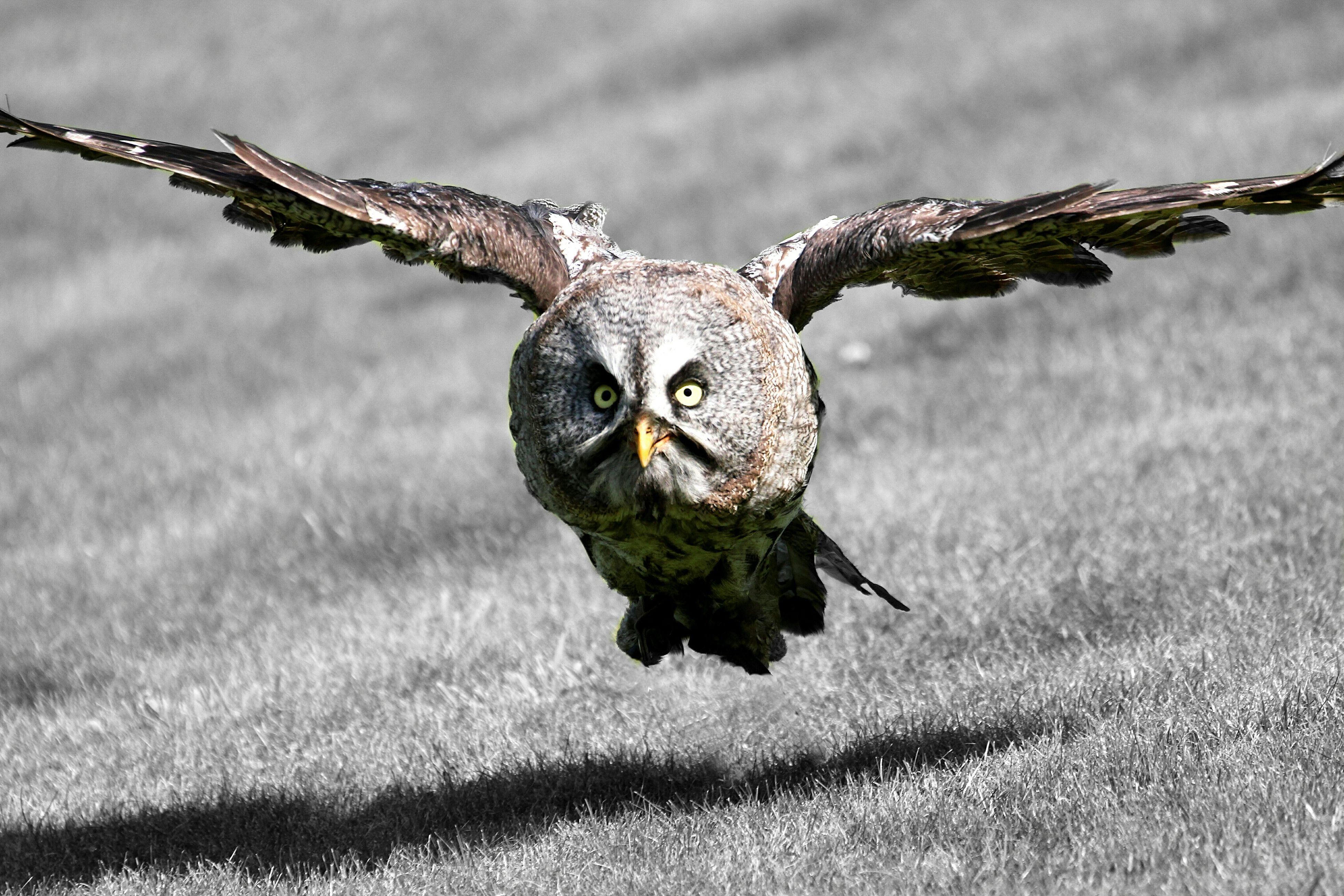 Hibou Grand Duc Eule Uhu Owl Flying