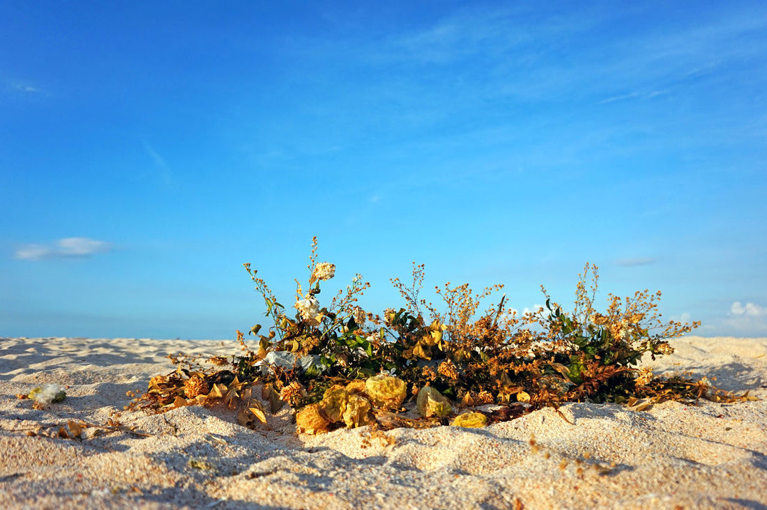 Beach And Clouds Beach And Sand Beach Flowers Beauty In Nature Blue Close-up Cloud Cloud - Sky Dried Flowers Eyeem Philippines Flower Fragility Growth Idyllic Landscape Nature No People Outdoors Remote Rural Scene Scenics The Week On EyeEm Tranquil Scene Tranquility Yellow