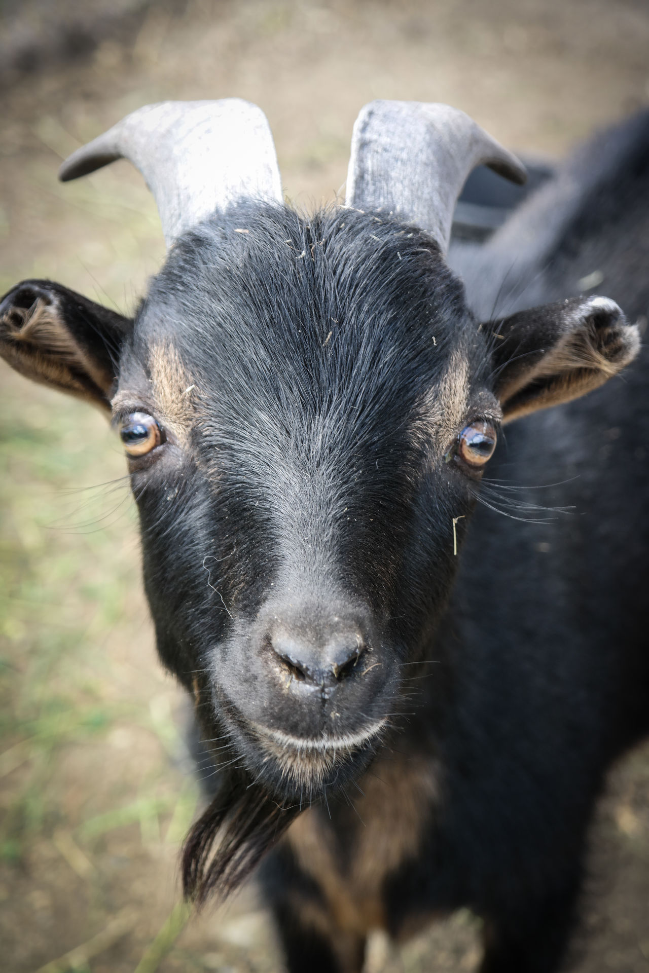 Beautiful stock photos of goat, Animal Head, Animal Themes, Close-Up, Day