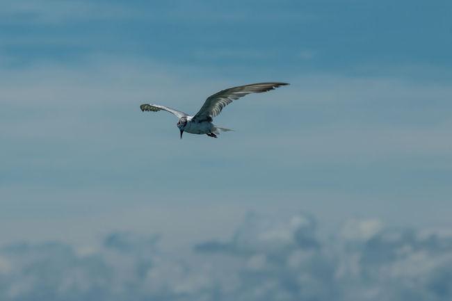 Flying Seagull. Flying Flyingbird Bird Photography Seagull Seagulls And Sea SEAGULL IN FLIGHT Seagull In The Air Cloud Clouds And Sky Sky And Clouds