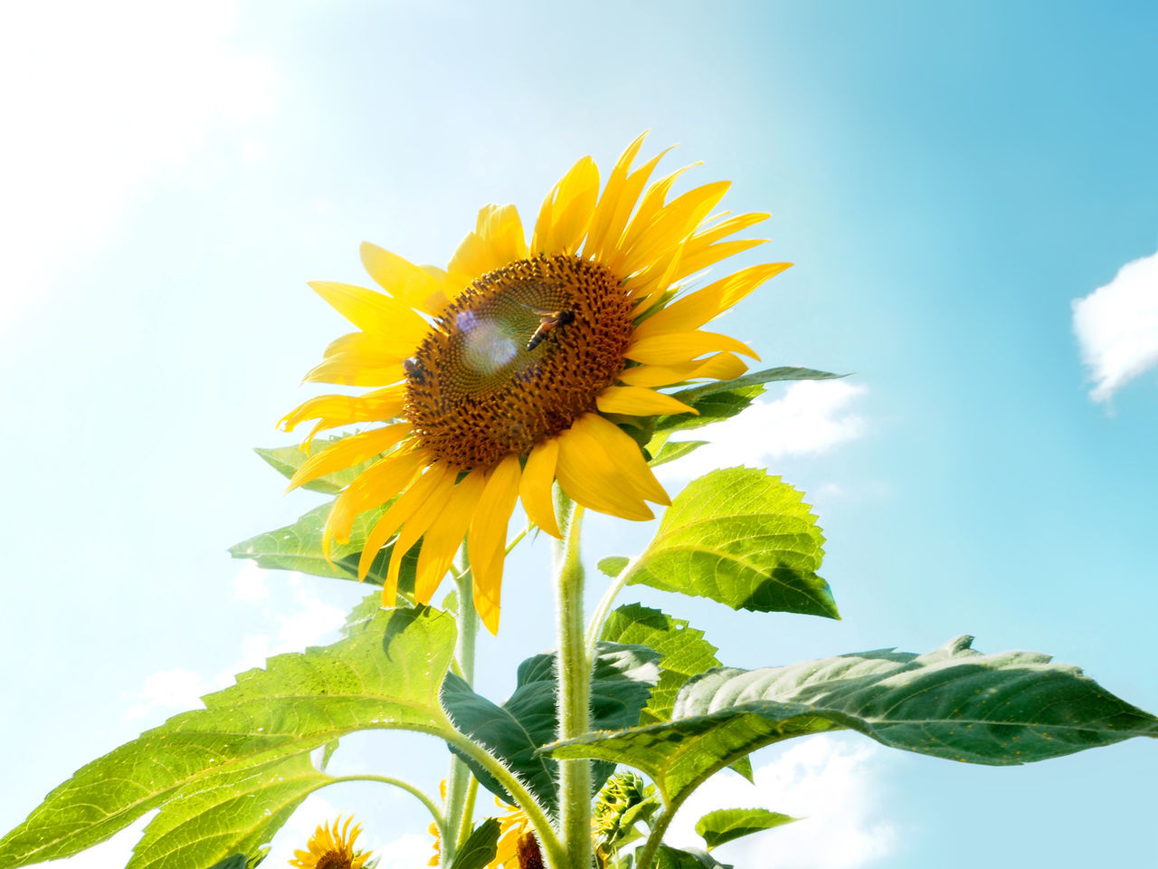 🐝Sunny Day🐝 Sunflower Yellow Selective Focus Blossom Blooming Beauty In Nature Sky Spotted In Thailand Sunny Bee Travel Thailand Botany Close-up Flower Fragility Freshness Growth Leaf Nature Petal Plant Pollen Softness Showcase: December